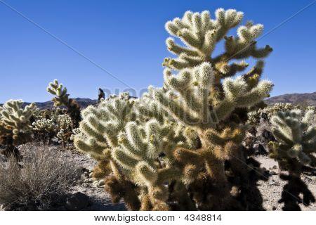Cholla Cactus Garden Wide