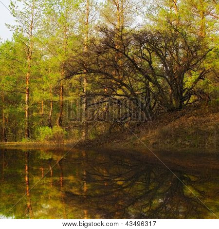 old tree reflection in still water