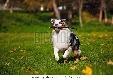Young Merle Australian Shepherd Running In Autumn