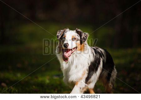Young Merle Australian Shepherd Portrait