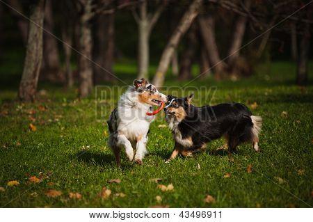 Zwei Australian Shepherds spielen zusammen