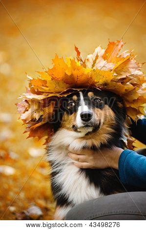 Young Australian Shepherd With Wreath Of Leaves
