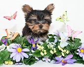 stock photo of yorkie  - Sweet Yorkie puppy standing in the middle of flowers and butterflies on a white background - JPG