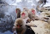 stock photo of macaque  - Japanese Snow Monkeys - JPG
