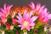 stock photo of cactus  - Cactus flower in bloom on a black background - JPG