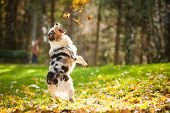 stock photo of shepherd  - young merle Australian shepherd playing with leaves in autumn - JPG
