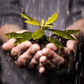 stock photo of horticulture  - Close up of hands holding seedling and soil growing in the rain - JPG