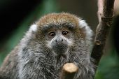 foto of titi monkey  - a very young titi monkey on a limb - JPG
