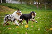 foto of australian shepherd  - two Australian Shepherds play together in autumn - JPG