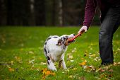 stock photo of australian shepherd  - young merle Australian shepherd playing with man in autumn - JPG