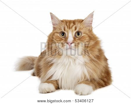 Sibirische Katze (Cat Buchara)