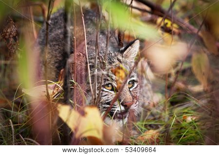 Bobcat (Lynx rufus) Displaying Stalking Behavior
