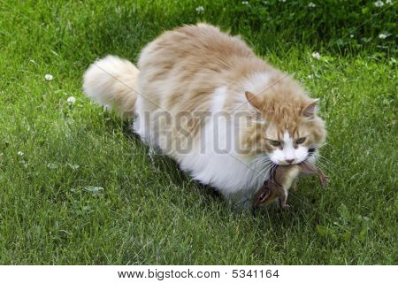 Orange And White Cat With Chipmunk