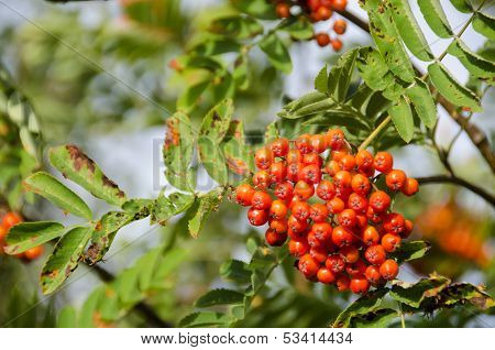 Sorbus Aucuparia, Rowan Or Mountain-ash