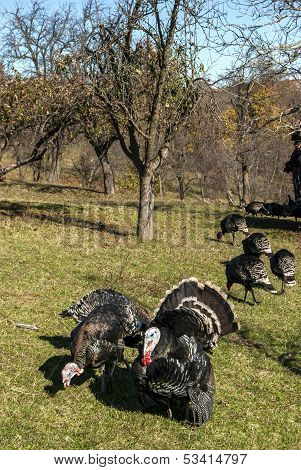 Free range domestic turkeys
