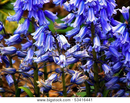 Blue bluebells