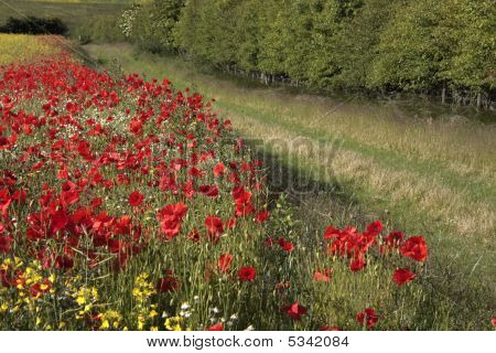 Counrry Lane With Poppies On One Side