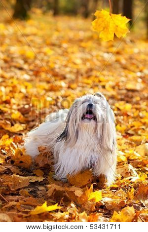 Shih tzu dog playing outdoors.