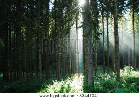 Light and airy coniferous forest