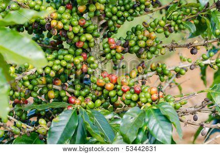 coffee berries on tree.