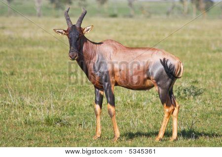 Topi Antelope In Grumeti Reserves