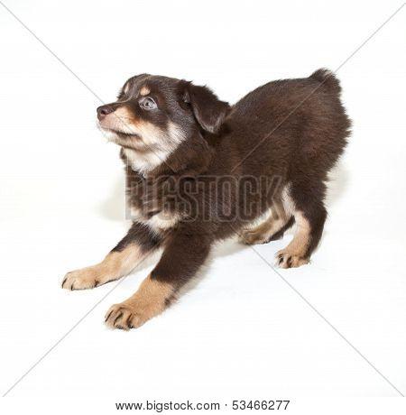 Payful Aussie Puppy