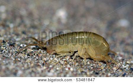 Sand Hopper (Talitrus saltator)