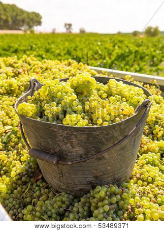chardonnay harvesting with wine grapes harvest in Mediterranean