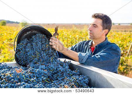 Mediterranean vineyard harvest farmer farming cabernet sauvignon grape field in Spain