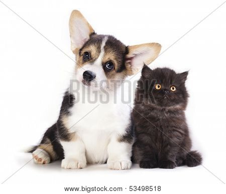 Pembroke Welsh Corgi puppy and  kitten