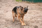 image of alsatian  - alsatian dog playing and pulling the rope