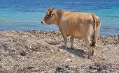 picture of sea cow  - cow in front of the sea on a beach Corsica