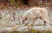 Blonde Wolf (Canis lupus) Sniffs Ground In Light Snowfall