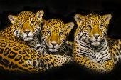 pic of ocelot  - Two young male Jaguars and their mother - JPG