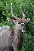 stock photo of antelope horn  - Portrait of a male Nyala antelope in the green trees - JPG