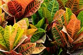 stock photo of crotons  - Vibrant colored Croton plant at a garden in Florida.