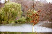 pic of weeping willow tree  - View of lake in autumn fall park with a weeping willow tree in in the background