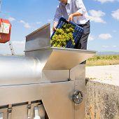 picture of wine-press  - chardonnay wine grapes winemaker in destemmer crushing machine at Mediterranean - JPG