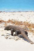 pic of komodo dragon  - Komodo Dragon walking at the beach on Komodo Island - JPG