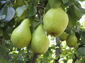 Rich Harvest - Branch With Juicy Pears