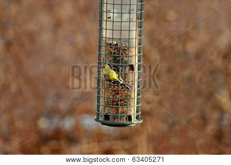 American Gold Finch Feeding In Early Spring