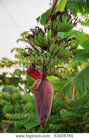Banana Bunch And Banana Flower