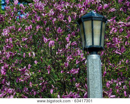 Lamp Post And Magnolia