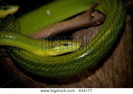 Green Tree Snakes