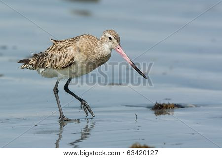 Bar-tailed Godwit Walking Across Wet Sand At Low Tide