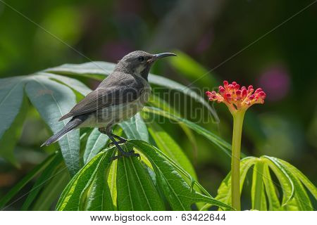 Young Beautiful Sunbird Perched Near An Interesting Red Flower