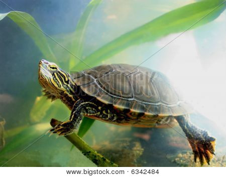 Painted Turtle Swimming