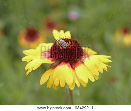 honeybee on yellow flower closeup
