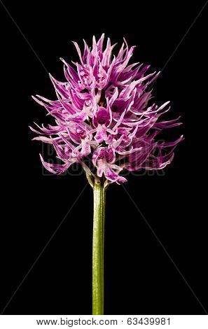 Naked Man Orchid Over Black - Orchis Italica