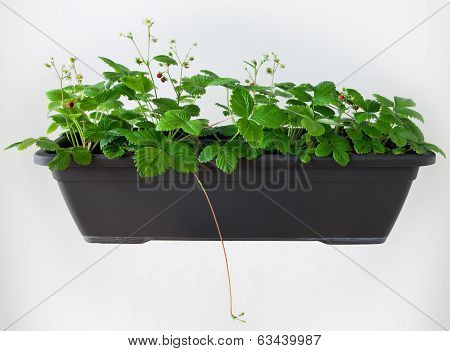 Wild Strawberry Flowerpot - Fragaria Vesca